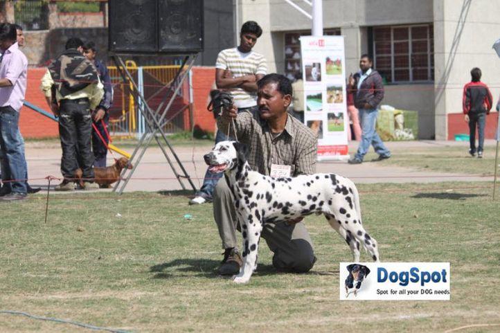 Dalmatian,, Royal Kennel Club, DogSpot.in