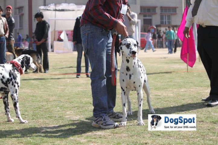 Dalmatian,, Royal Kennel Club, DogSpot.in