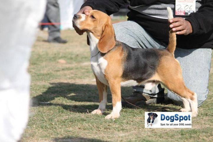 Beagle,, Royal Kennel Club, DogSpot.in