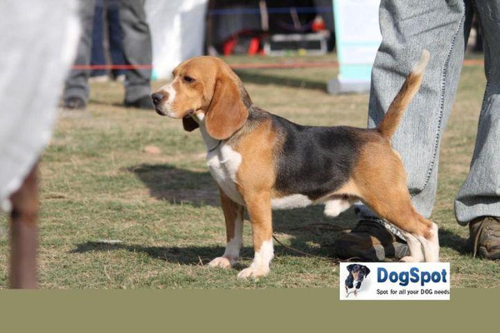 Beagle,, Royal Kennel Club, DogSpot.in