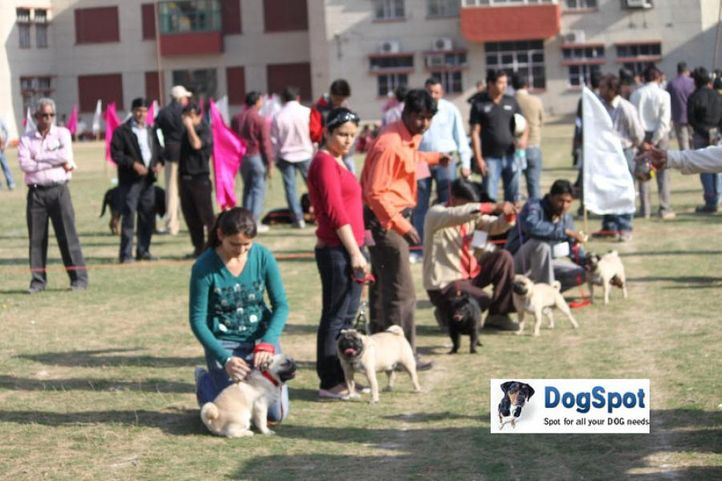 Pug,, Royal Kennel Club, DogSpot.in