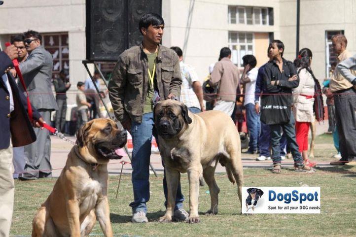 Mastiff,, Royal Kennel Club, DogSpot.in