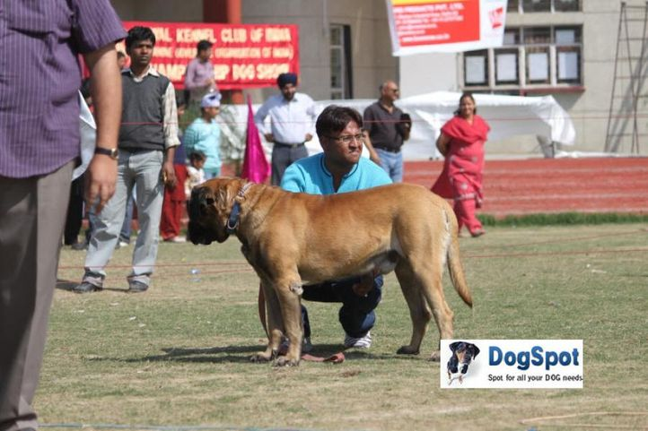 Mastiff,, Royal Kennel Club, DogSpot.in