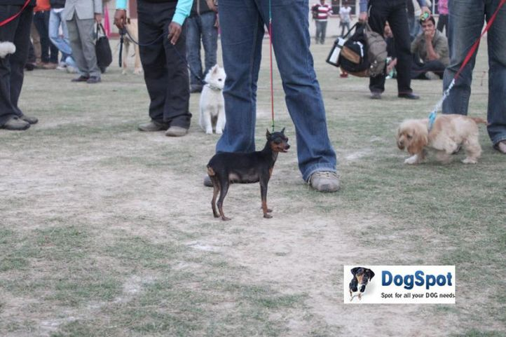 MinPin,, Royal Kennel Club, DogSpot.in