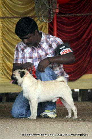 ex-8,pug,sw-85,, AYYAAN'S POWER RANGER, Pug, DogSpot.in