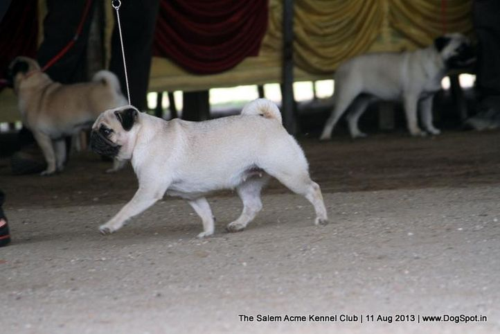 ex-12,pug,sw-85,, LYDIAN'S HAVE A FUN WITH ME, Pug, DogSpot.in