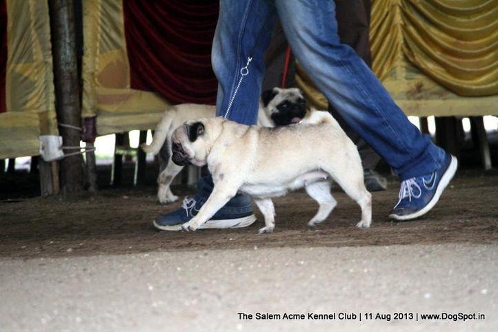 ex-14,pug,sw-85,, STAR GOOSEBERRYS LIVE IN FLORECCE, Pug, DogSpot.in