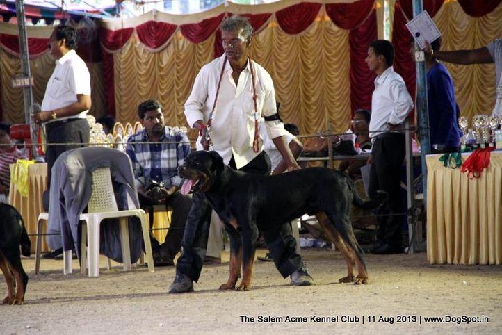 ex-200,rottweiler,sw-85,, TOM, Rottweiler, DogSpot.in
