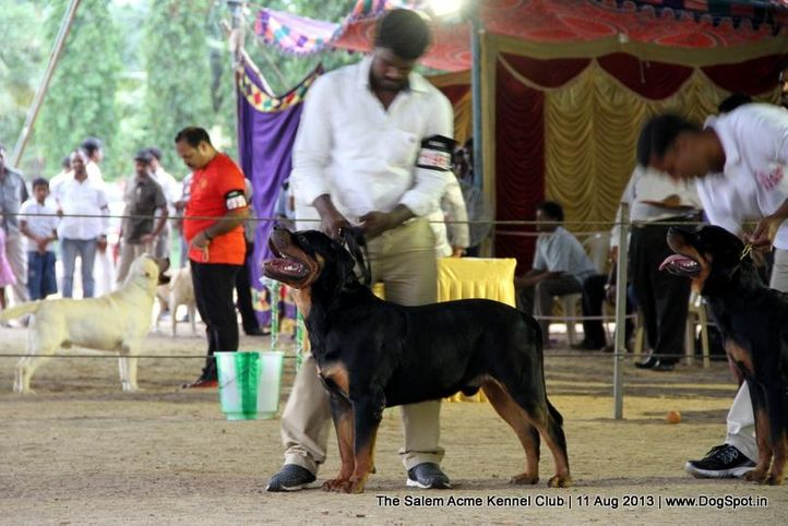 rottweiler,sw-85,, The Salem Acme Kennel Dog Show, DogSpot.in