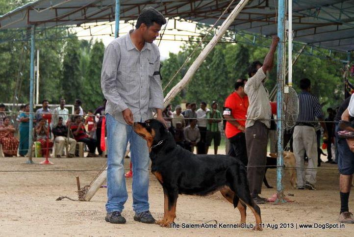 ex-214,rottweiler,sw-85,, X'CELLSA'S TELLER MEGAN, Rottweiler, DogSpot.in
