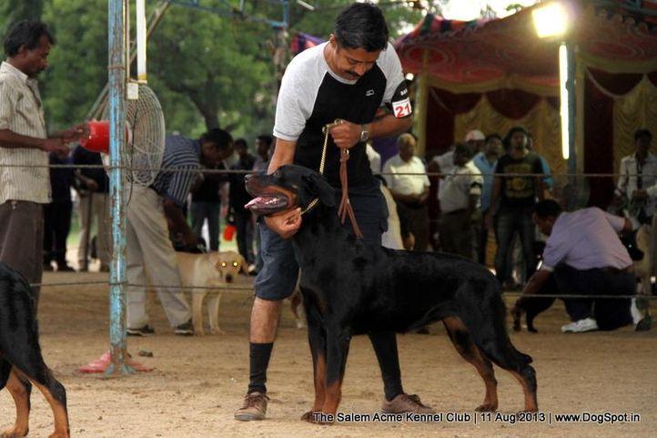 ex-218,rottweiler,sw-85,, SANYADORS JACQUET JIL, Rottweiler, DogSpot.in
