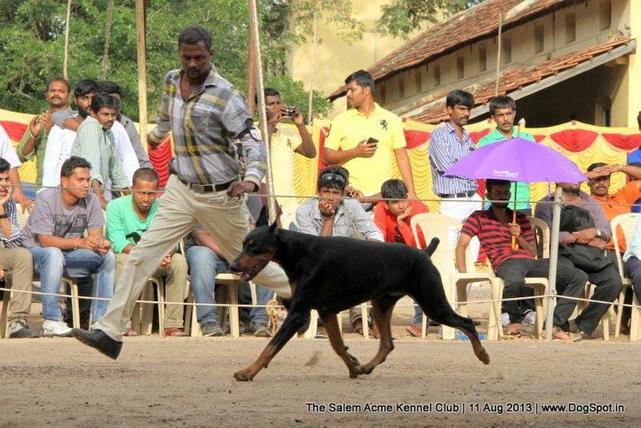 dobermann,sw-85,, The Salem Acme Kennel Dog Show, DogSpot.in