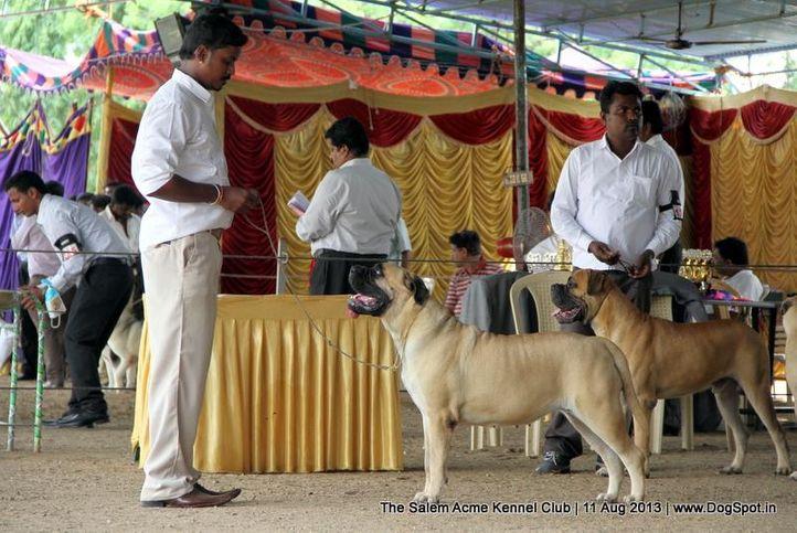 bull mastiff,ex-140,sw-85,, SREES CHARMING GIRL, Bullmastiff, DogSpot.in