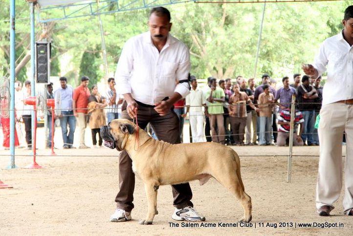 bull mastiff,ex-141,sw-85,, CH.BULLET, Bullmastiff, DogSpot.in