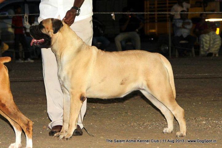 bull mastiff,ex-142,sw-85,, SPOTY WOLFS CORINA APPENDIX, Bullmastiff, DogSpot.in
