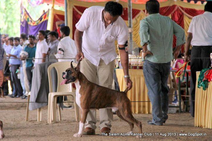 boxer,sw-85,, The Salem Acme Kennel Dog Show, DogSpot.in