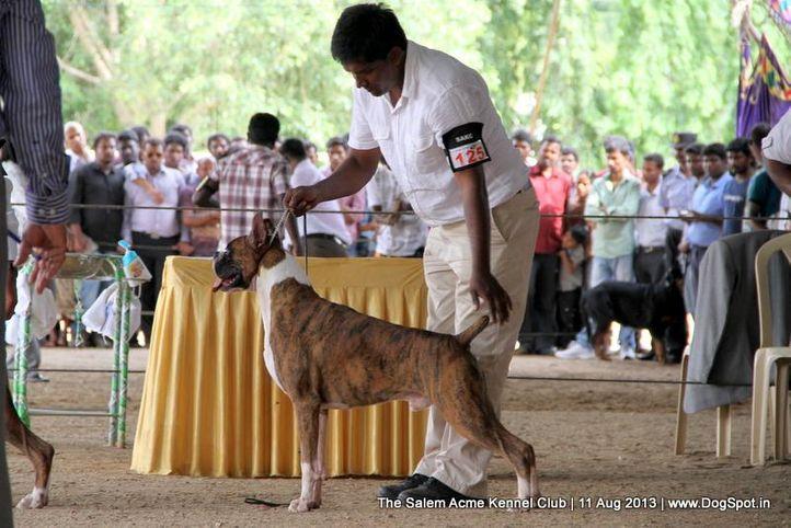 boxer,ex-125,sw-85,, P-COTOPAXI OF L&C MASTER FCI, Boxer, DogSpot.in