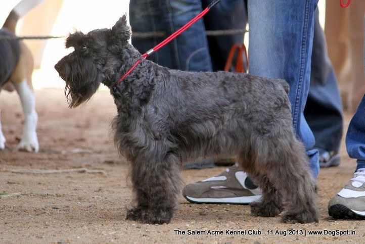 ex-21,miniature schnauzer,, The Salem Acme Kennel Dog Show, DogSpot.in