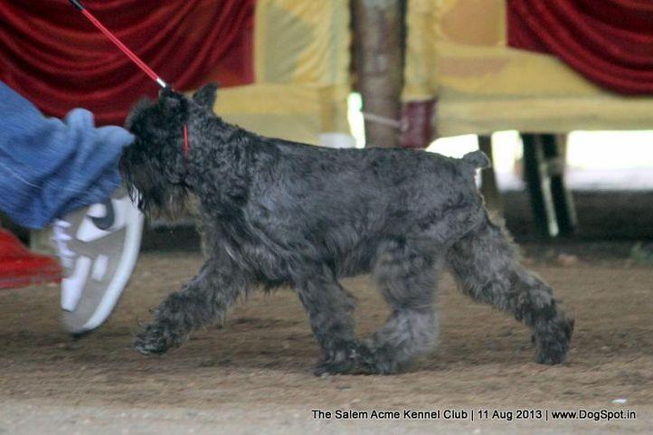 ex-21,miniature schnauzer,, The Salem Acme Kennel Dog Show, DogSpot.in