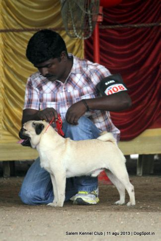 ex-8,pug,, Salem Dog Show 2013, DogSpot.in
