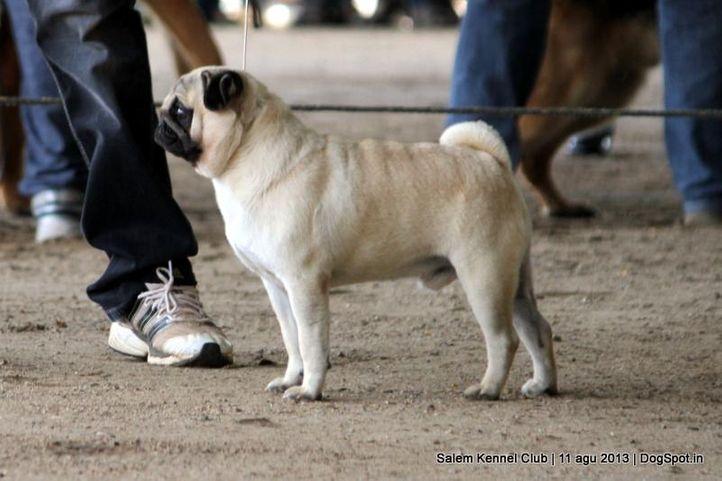 ex-9,pug,, Salem Dog Show 2013, DogSpot.in