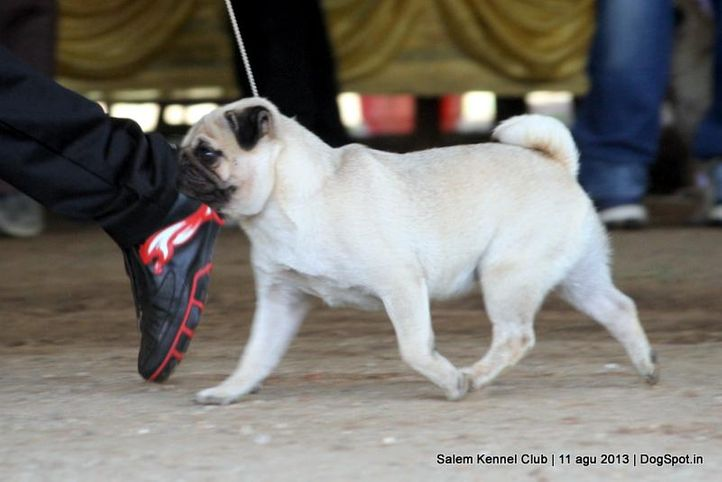 ex-12,pug,, Salem Dog Show 2013, DogSpot.in