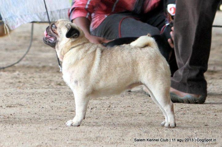 ex-14,pug,, Salem Dog Show 2013, DogSpot.in