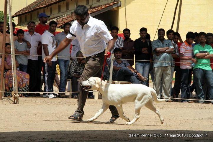 ex-87,labrador retriever,, Salem Dog Show 2013, DogSpot.in