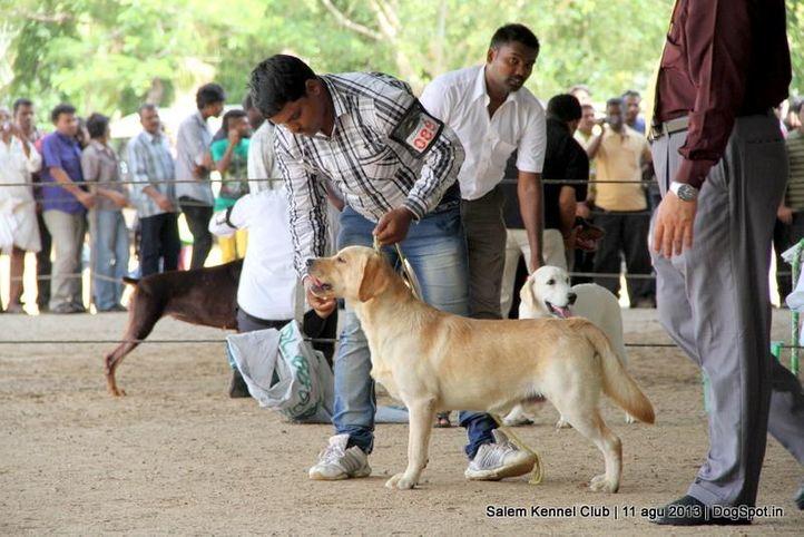 ex-88,labrador retriever,, Salem Dog Show 2013, DogSpot.in