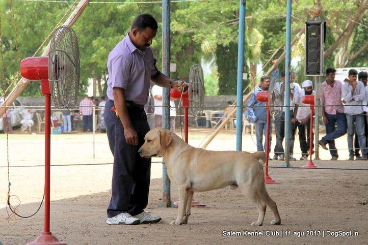 ex-90,labrador retriever,, Salem Dog Show 2013, DogSpot.in