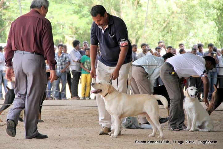 ex-92,labrador retriever,, Salem Dog Show 2013, DogSpot.in