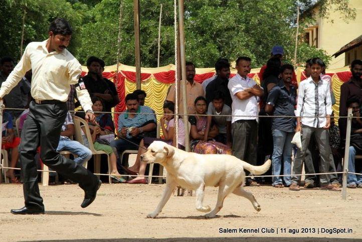 ex-94,labrador retriever,, Salem Dog Show 2013, DogSpot.in