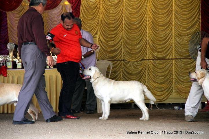 ex-91,labrador retriever,, Salem Dog Show 2013, DogSpot.in