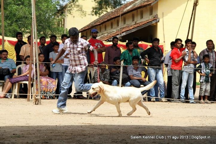 ex-97,labrador retriever,, Salem Dog Show 2013, DogSpot.in