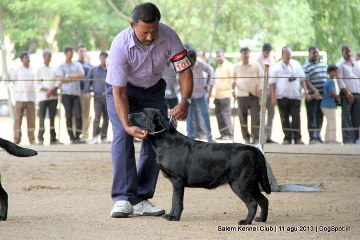 ex-101,labrador retriever,, Salem Dog Show 2013, DogSpot.in