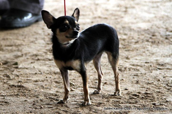 chihuahua,ex-1,, Salem Dog Show 2013, DogSpot.in