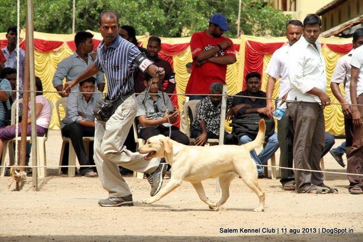 ex-103,labrador retriever,, Salem Dog Show 2013, DogSpot.in