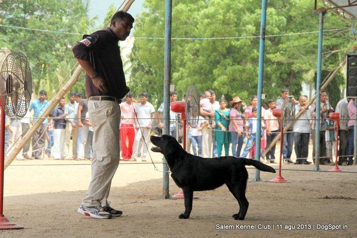 ex-100,labrador retriever,, Salem Dog Show 2013, DogSpot.in