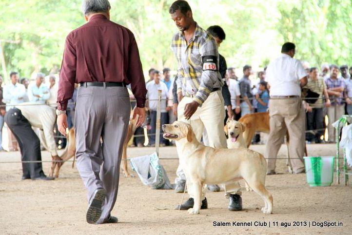 ex-110,labrador retriever,, Salem Dog Show 2013, DogSpot.in