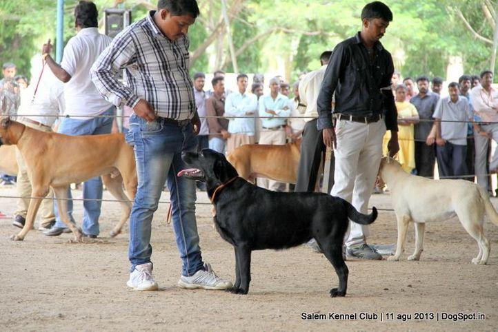 labrador retriever,, Salem Dog Show 2013, DogSpot.in