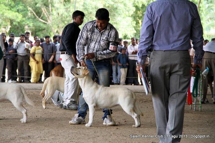 ex-113,labrador retriever,, Salem Dog Show 2013, DogSpot.in