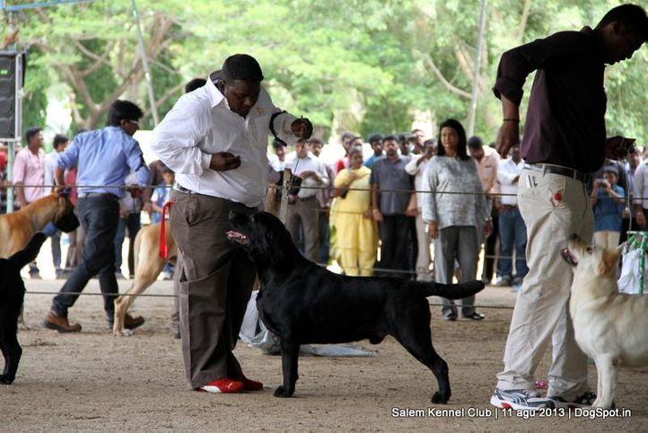 ex-115,labrador retriever,, Salem Dog Show 2013, DogSpot.in