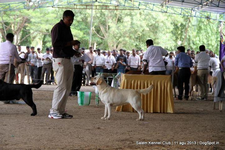 ex-118,labrador retriever,, Salem Dog Show 2013, DogSpot.in