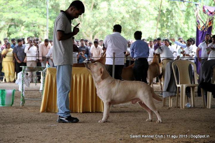 ex-119,labrador retriever,, Salem Dog Show 2013, DogSpot.in