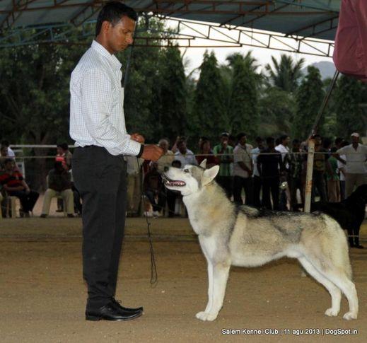 ex-225,siberian husky,, Salem Dog Show 2013, DogSpot.in