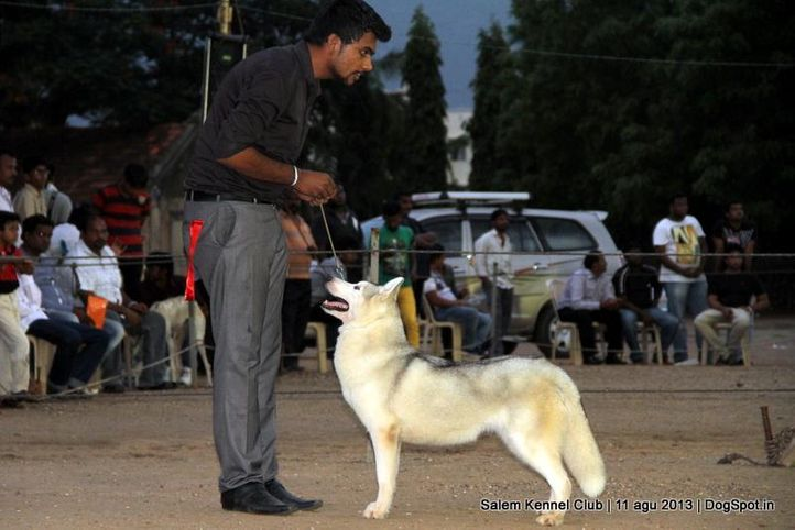 siberian husky,, Salem Dog Show 2013, DogSpot.in