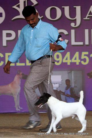 ex-7,fox terrier,, Salem Dog Show 2013, DogSpot.in