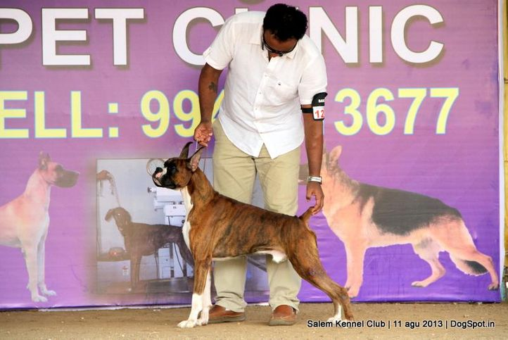 boxer,ex-122,, Salem Dog Show 2013, DogSpot.in