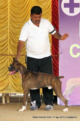 boxer,ex-121,, Salem Dog Show 2013, DogSpot.in