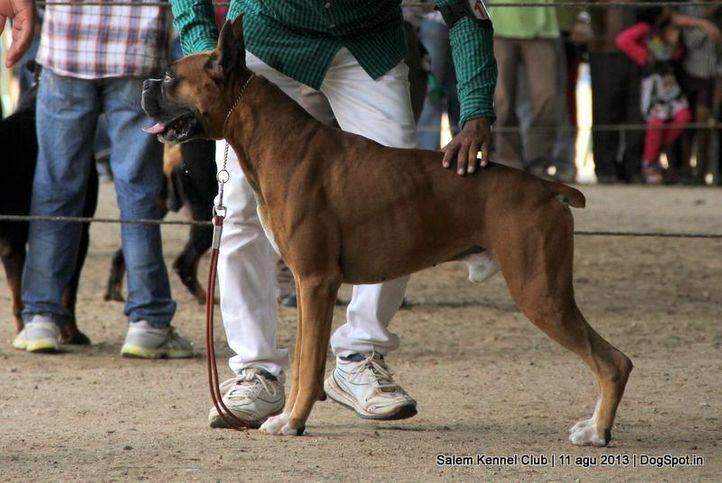 boxer,ex-123,, Salem Dog Show 2013, DogSpot.in
